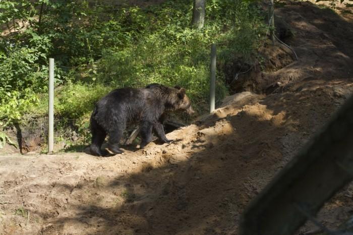 Wildparks-der-Bär-wandert-neben-den-Zaun