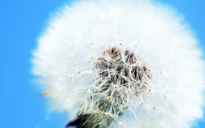 Bilder-von-Löwenzahn-als-weiße-Blume