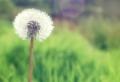 Löwenzahn Bilder – eine kleine gelbe Blume auf allen Wiesen