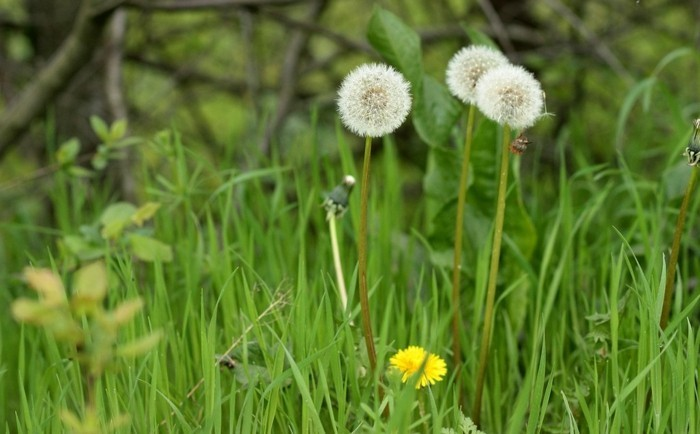 Blütezeit-Löwenzahn-die-alten-und-die-jungen