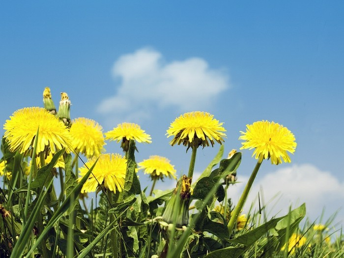 Gewöhnlicher-Löwenzahn-beginnt-als-gelbe-Blume