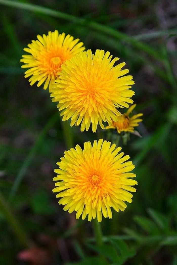 Gewöhnlicher-Löwenzahn-in-drei-Blüten