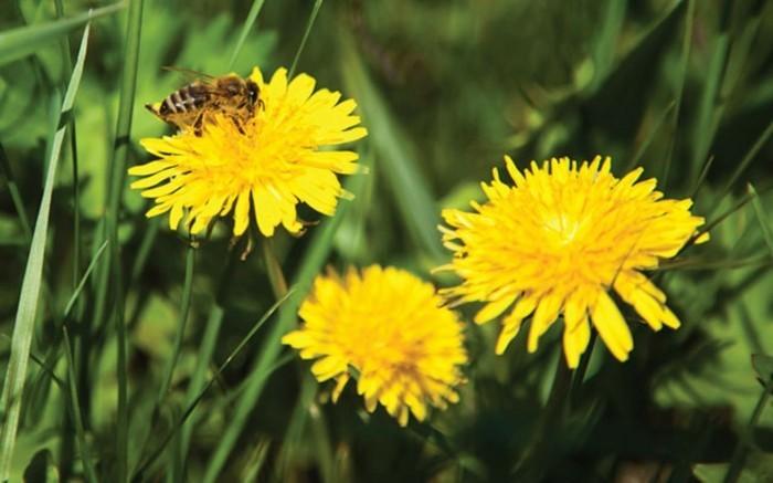 Gewöhnlicher-Löwenzahn-mit-einer-Biene
