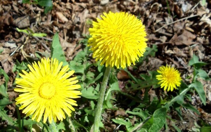 Löwenzähne-sind-sehr-ästhetische-Blumen