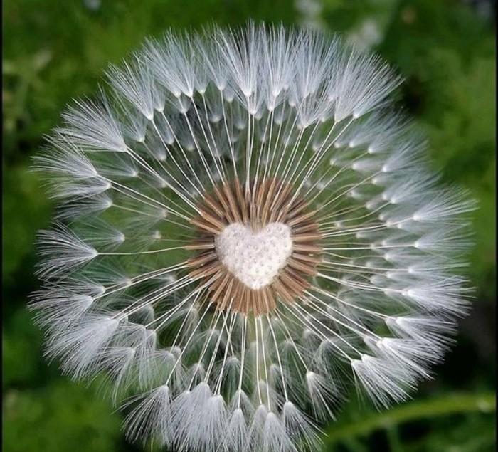 Löwenzahn-Beschreibung-wie-ein-Herz