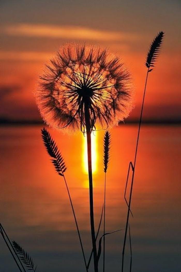 Löwenzahn-Bilder-bei-einem-Sonnenuntergang