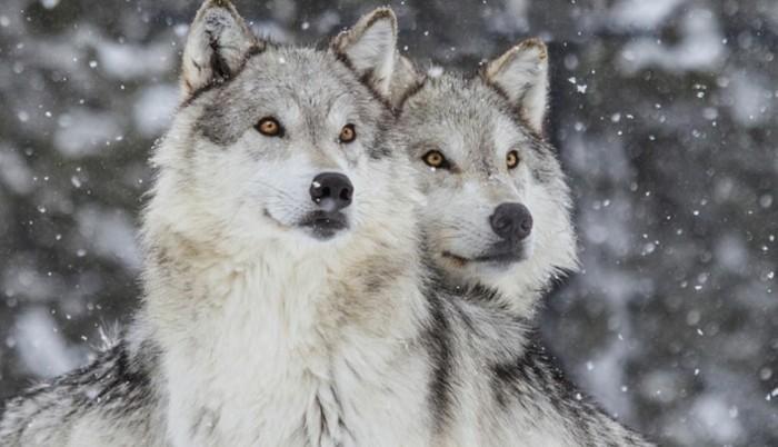 der-berg-ruft-wölfe-in-dem-nationalpark