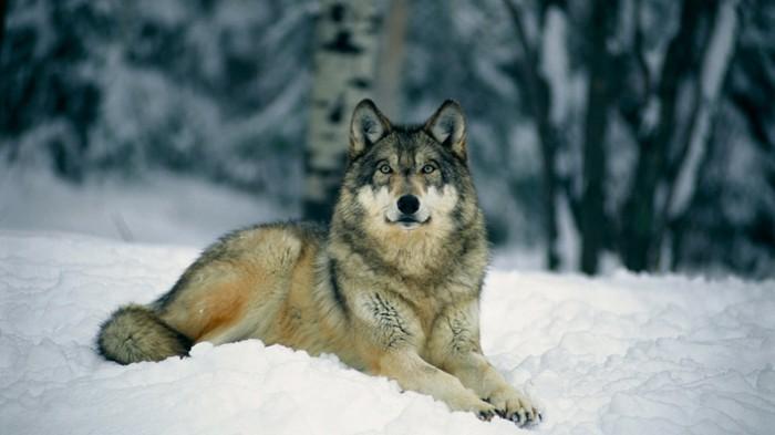 der-berg-ruft-wolf-in-dem-nationalpark