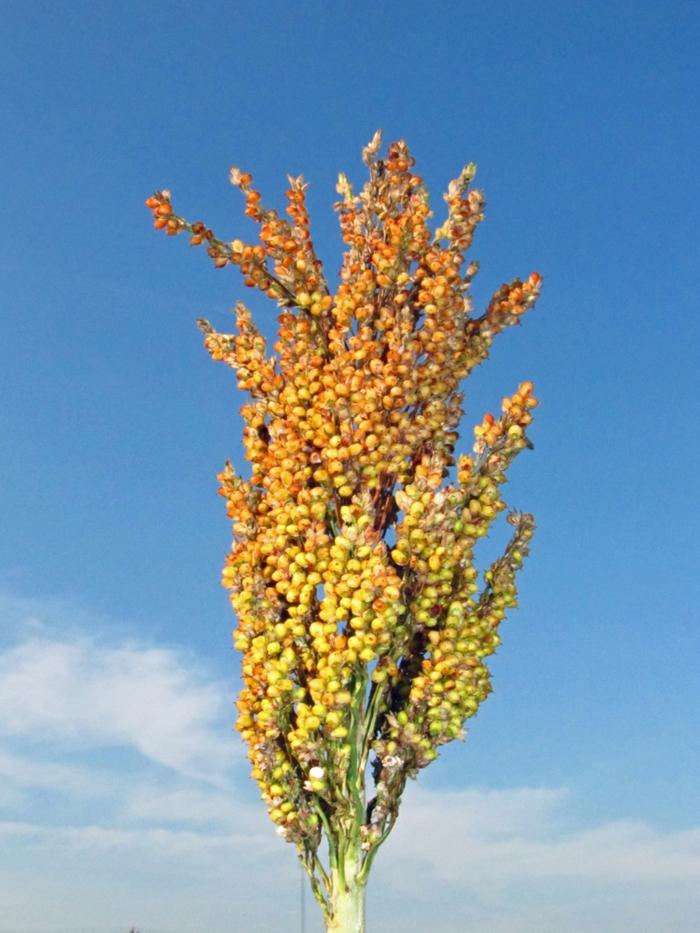 drohne-drohne-die-so-genannten-sorghumhirsen-sind-rohstoffe-für-die-biokraftstoffherstellung