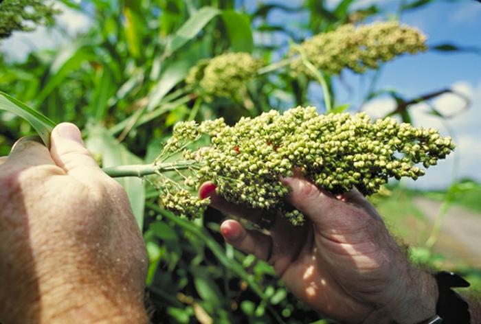 drohne-sorghum-können-auch-als-ausgansstoffe-für-die-biokraftstoffherstellung-verwendet-werden