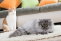 Welche Katzenrasse ist die richtige für mich?