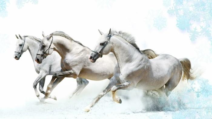 schöne-pferde-bilder-drei-weiße-pferde