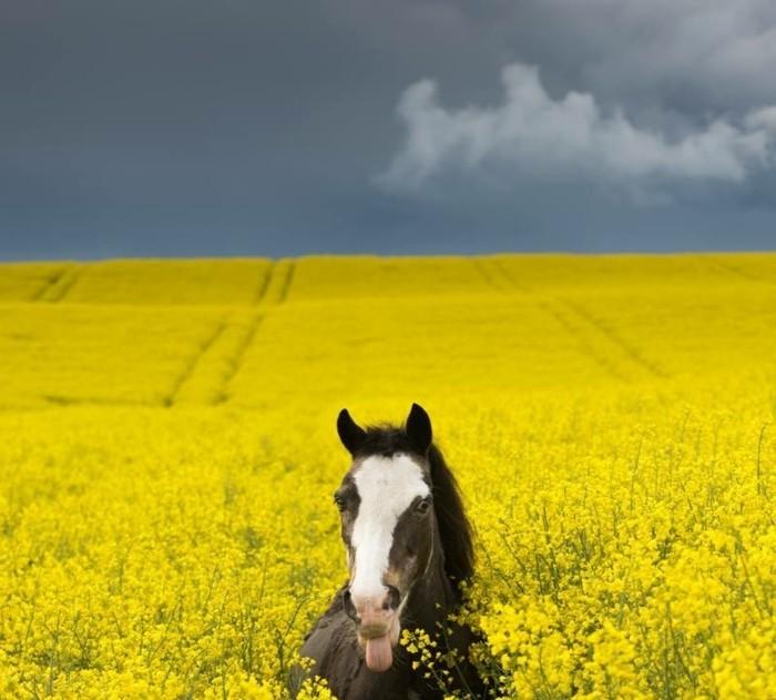 schöne-pferde-bilder-hier-stellen-wir-ihnen-eines-unserer-lieblingsbilder-vor
