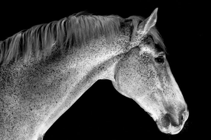 schöne-pferde-bilder-in-schwarz-weiß-schöne-pferde-bilder-machen