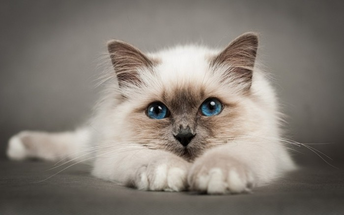 tolle birmakatze mit blauen augen