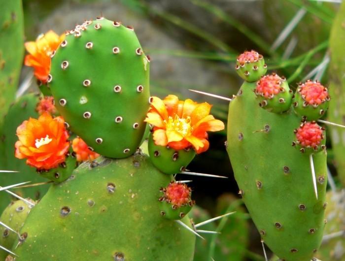 exotische pflanzen - feigenkaktus
