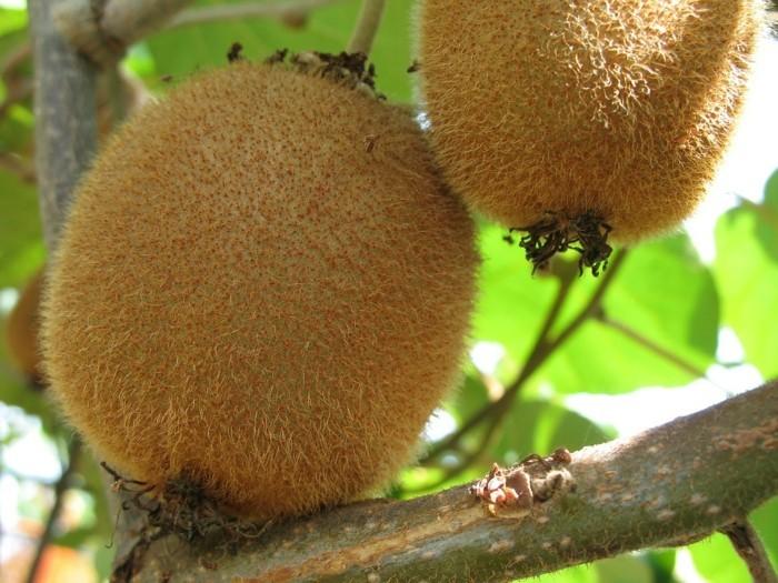 schöne-exotische-pflanzen-kiwi
