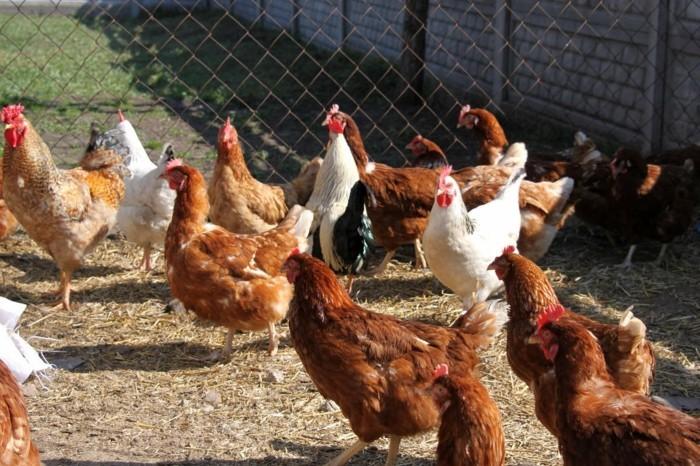 hühnerstall-selber-bauen-jeder-könnte-einen-schön-aussehenden-hühnerstall-selber-bauen