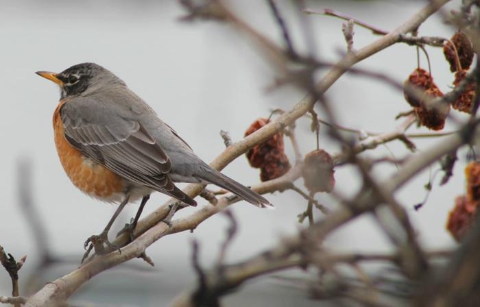 kleines Vogel mit orangen und grauen Fädern