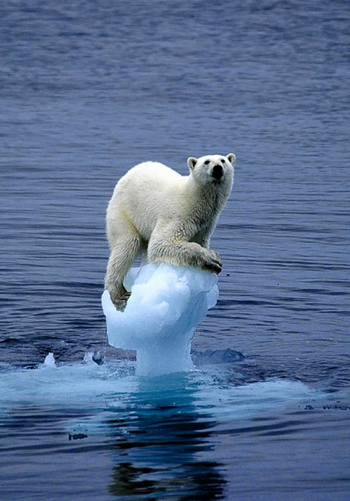 globale-erwärmung-eisbär-noch-ein-trauriges-bild