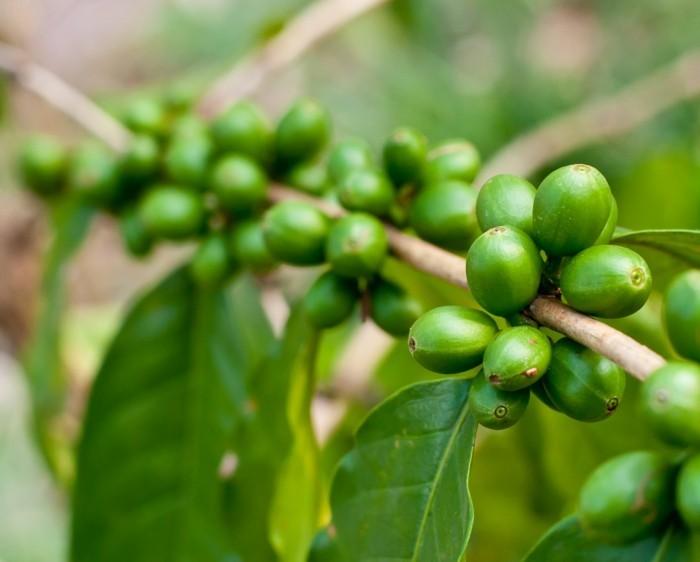 gruener-kaffee-zum-abnehmen-kaffee-bohnen-bevor-sie-reif-werden-kaffee-pflanze-gruene-farbe-beruhigt-kaffee-gibt-energie