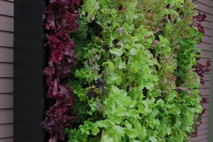 vertikaler Garten - grüne und rote Farbe der Blätter von Pflanzen, schwarzer Hintergrund