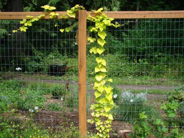 Kletterpflanzen Weinberg an dem Zaun neben einem Weinweg