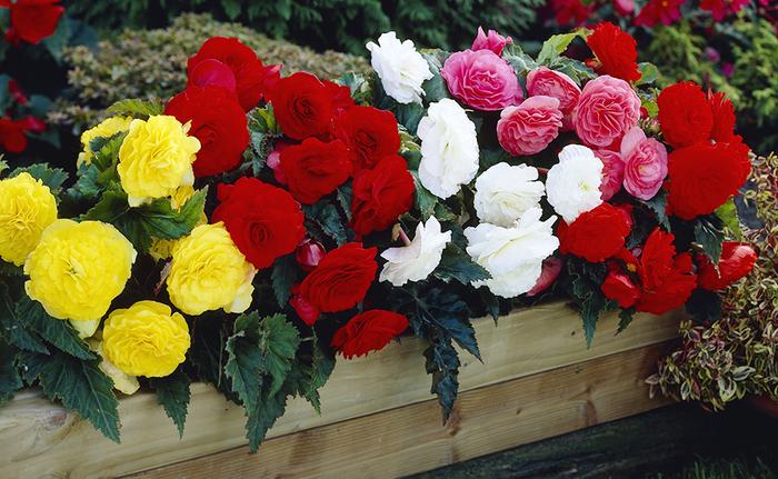 Begonien im Holz-Blumentopf, viele Blüten in verschiedenen Farben, Ideen für Balkonbepflanzung