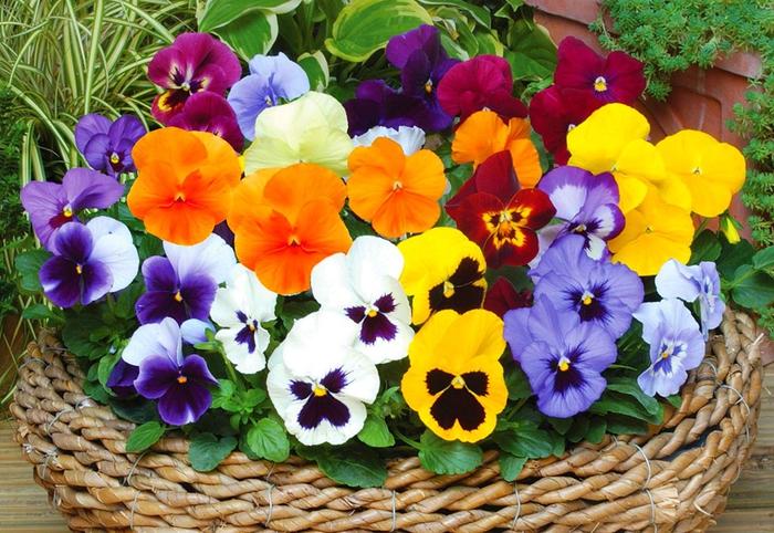 Ratan-Korb als Blumentopf, Veilchen in ganz verschiedenen Farben, den Balkon bepflanzen und dekorieren