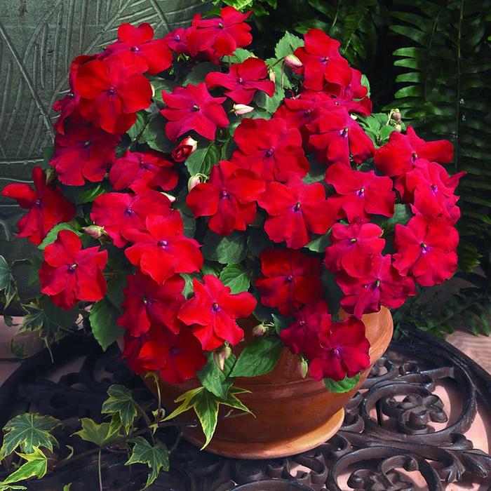 die Terrasse bepflanzen- nützliche Tipps und Ideen, rote fleißige Ließchen