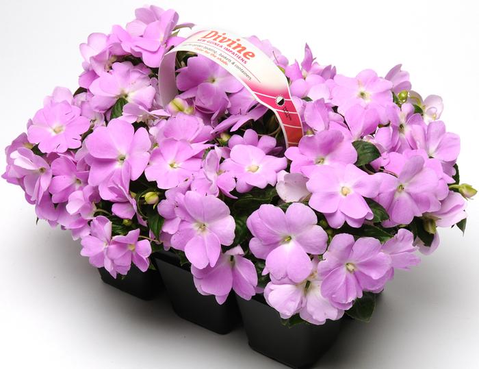 lila fleißige Ließchen, Ideen für Balkonbepflanzung, einen frischen und gemütlichen Look schaffen