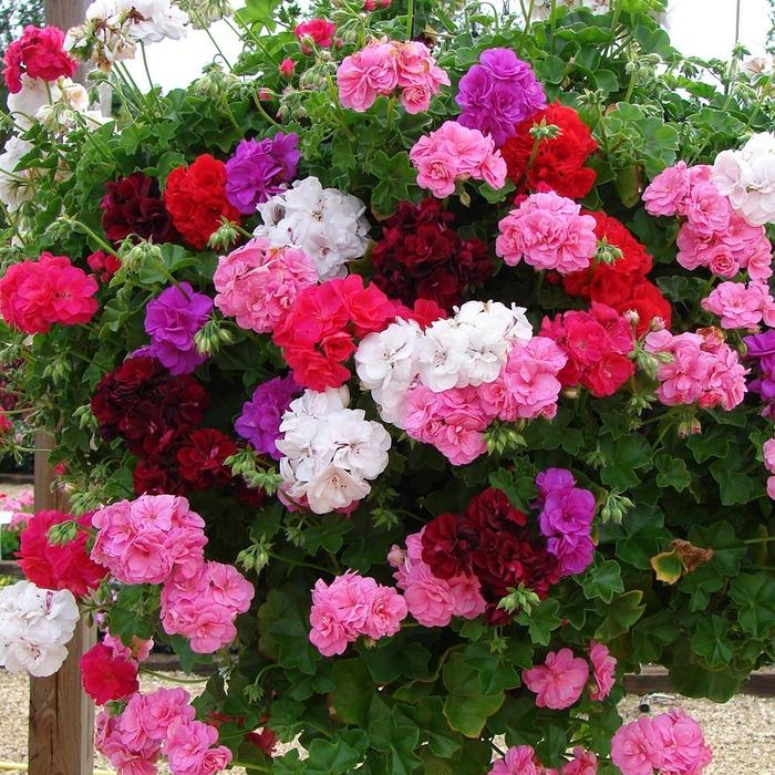 Geranie-Klassiker bei Balkonpflanzen, viele Blüten in verschiedenen Nuancen