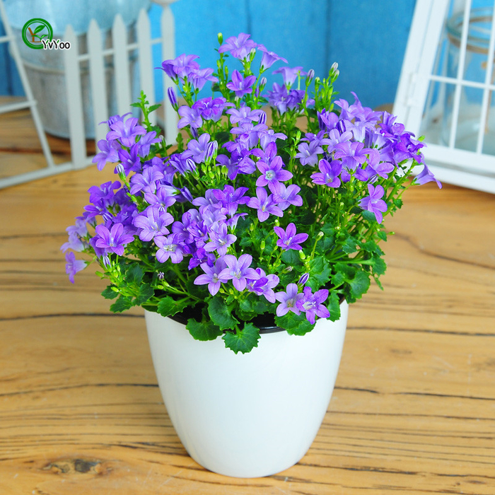 lila Glockenblume in weißem Blumentopf, Ideen für Balkon- und Gartenbepflanzung