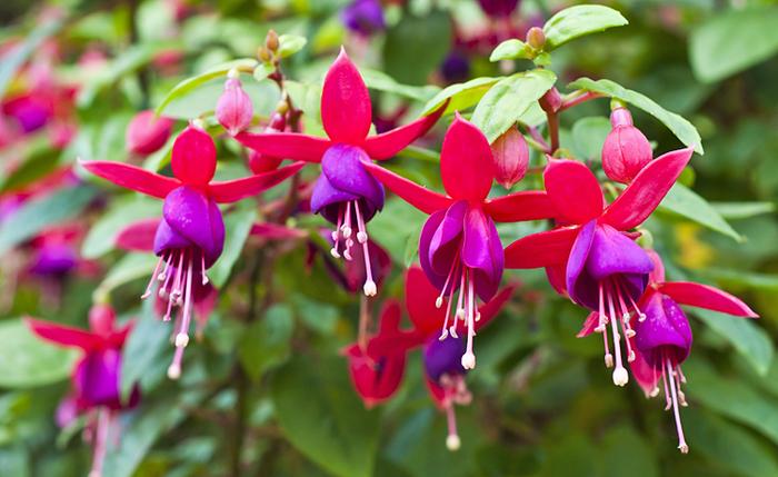 wunderschöne Fuchsie mit großen Blüten, Klassiker bei Balkonpflanzen, Garten- und Balkonpflanze