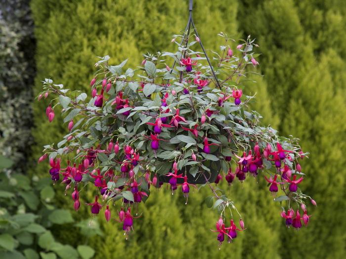 Balkonpflanzen auswählen, schöne Atmosphäre schaffen, rote Fuchsie mit vielen Blüten