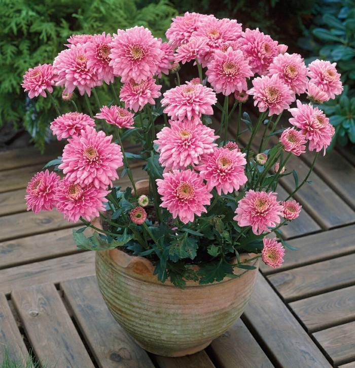 wunderschöne rosa Chrysantheme, den Balkon bepflanzen, Ideen für den Herbst