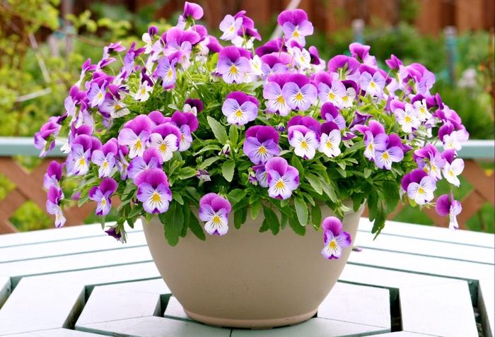 Blumentopf mit kleinen zarten Veilchen, schöne Ideen für Ihren Balkon/Garten