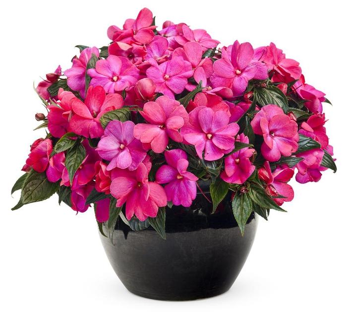 violette fleißige Ließchen im schwarzen Blumentopf, viele Blüten, Ideen für Balkonbepflanzung
