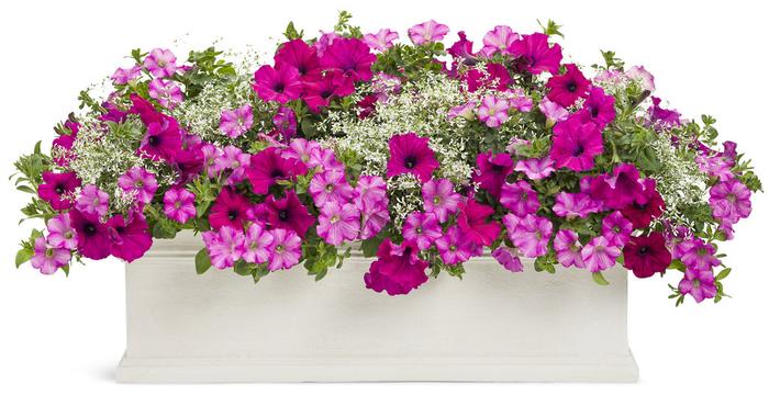 großer Blumentopf mit rosa und violetten Petunien, den Balkon bepflanzen