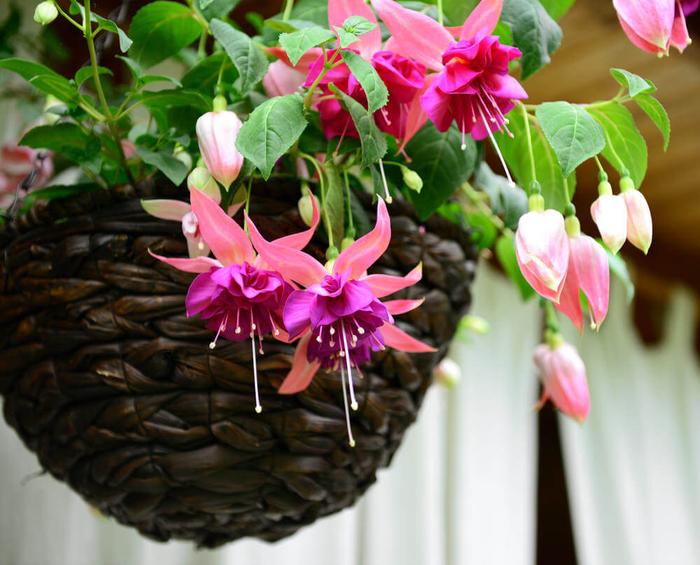Rattankorb mit Fuchsie, Blüten in verschiedenen Nuancen, Ideen für Balkon- und Gartenbepflanzung