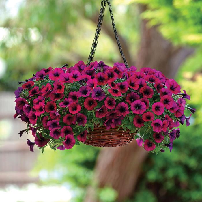 Rattankorb mit weinroten Petunien, Ideen für Balkon- und Gartenbepflanzung