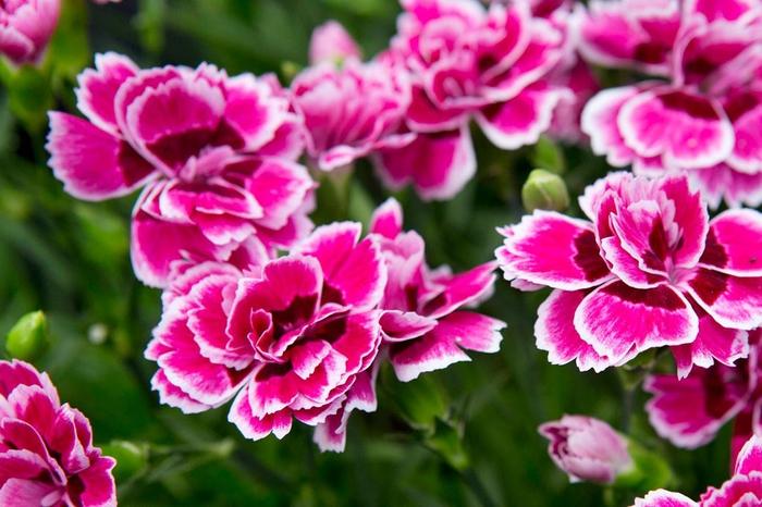 violette Nelken mit weißen Rändern, wunderschöne Balkonpflanzen züchten