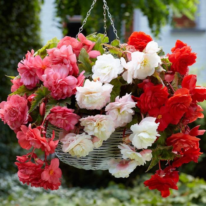 Ratan-Korb mit Begonien in drei Farben, frische Ideen für Ihren Balkon oder Garten