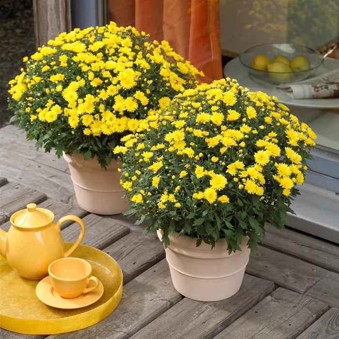 gelbe Chrysantheme, den Balkon im Herbst bepflanzen, gelbe Tasse und Teekanne