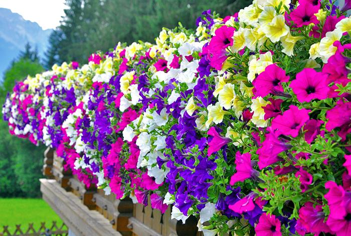 prachtvolle Terrasse mit vielen Blumen, violette, weiße, gelbe und lila Petunien