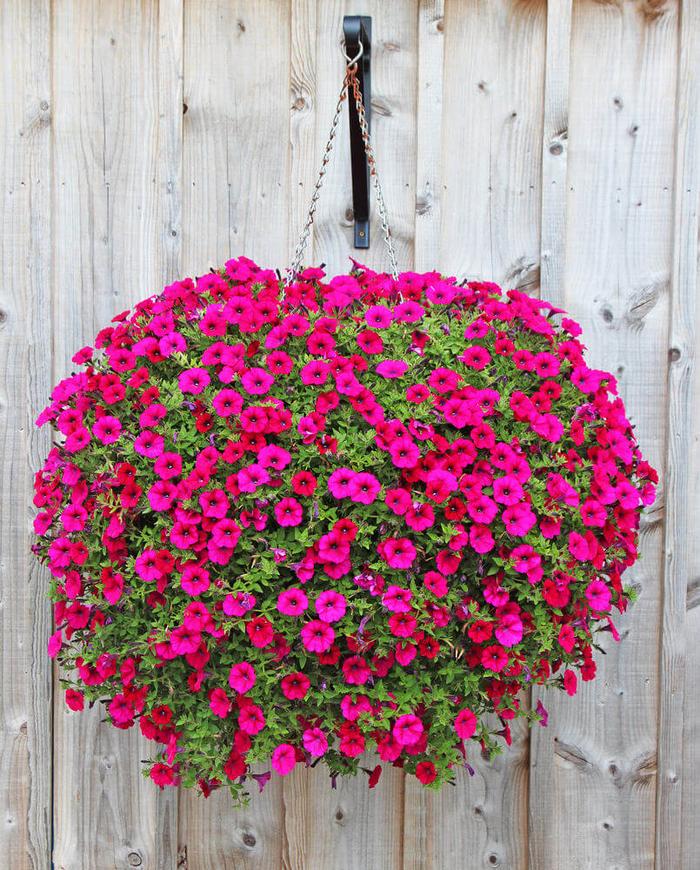schöne Ideen für Balkonbepflanzung, violette Petunien, viele Blüten, beeindruckender Look