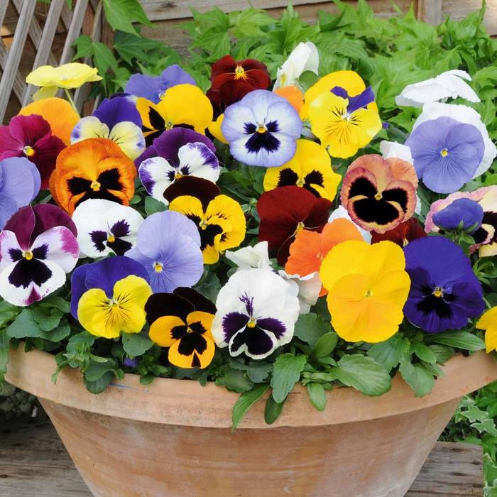Blumentopf mit vielen Veilchen in verschiedenen Farben, den Balkon bepflanzen, Blumen auswählen