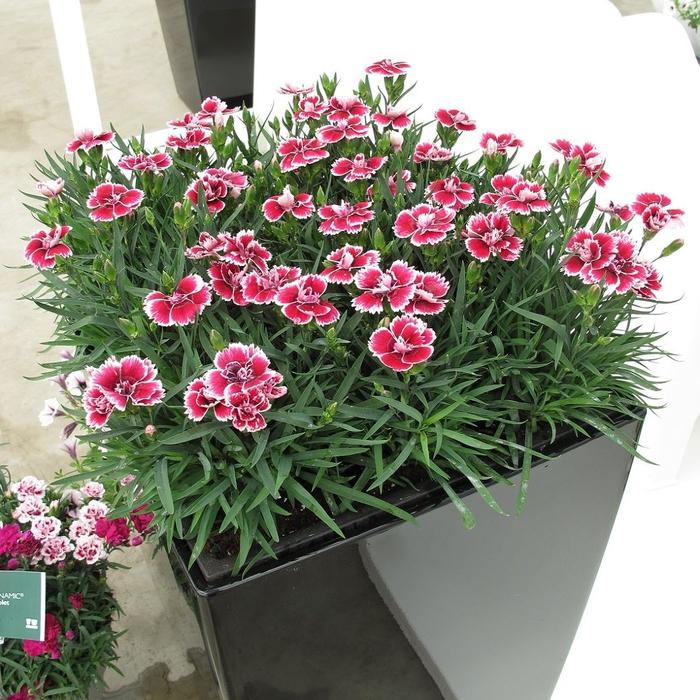 großer Blumentopf mit schönen Nelken, Balkonpflanzen auswählen- Tipps und Ideen