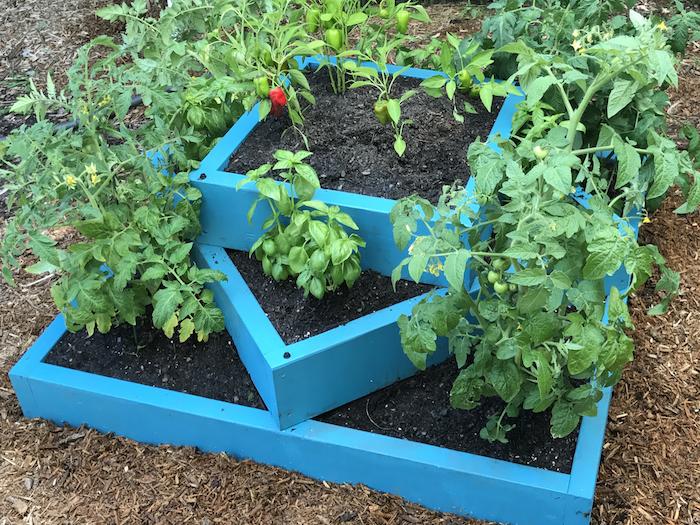 Hochbeet selber bauen und in blauer Farbe streichen kleine Tomaten bepflanzen