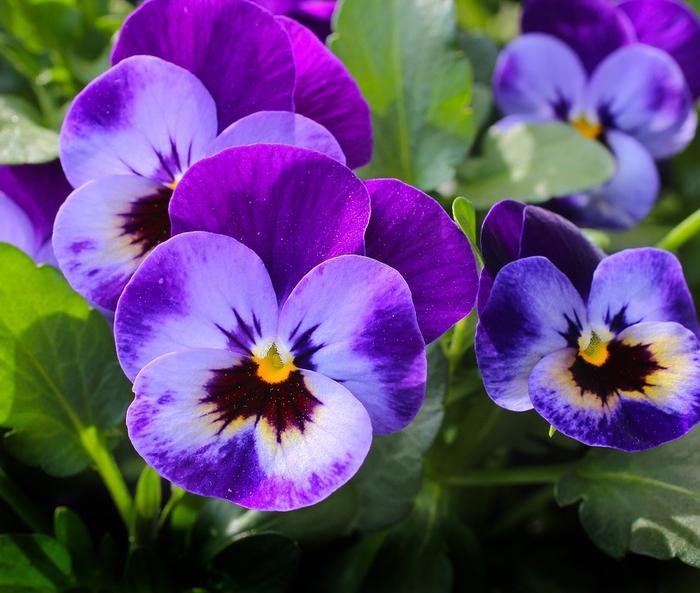 wunderschöne lila Veilchen, tolle Ideen für den Balkon, Bepflanzen und Dekorieren